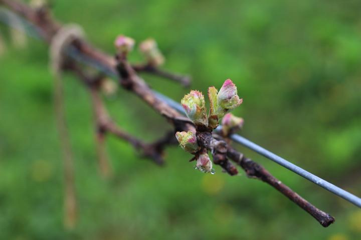 菜園日誌 180514a ブドウの芽吹きを見て歩く。