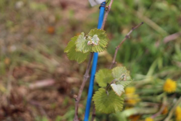 菜園日誌 180522a 展葉期のブドウ(その2)