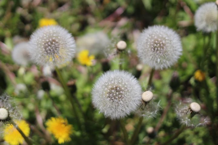 菜園日誌 180523〜24 タンポポ、綿毛に化す。