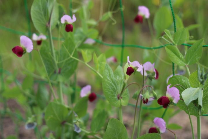 菜園日誌 180607 エンドウの花咲く