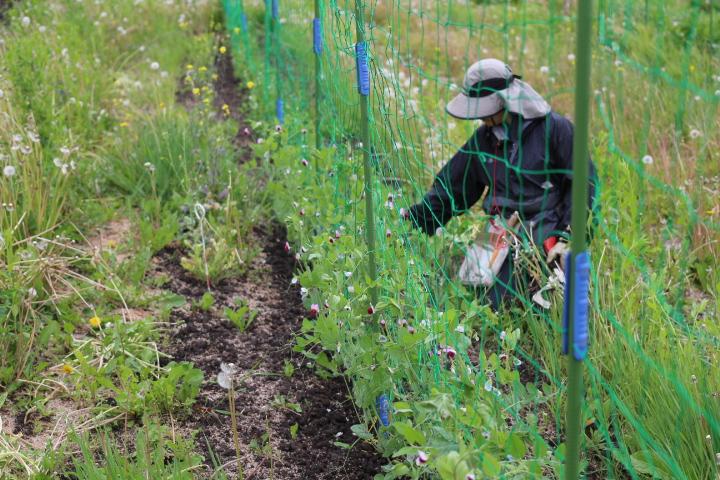 菜園日誌 180609 エンドウや食香バラの収穫