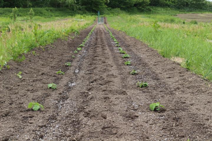 菜園日誌 180610 大豆・アズキの定植。