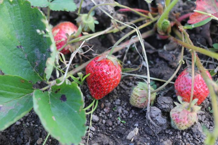 菜園日誌画像版 180618 イチゴが色づき始める