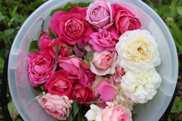 ブドウ畑のバラたち