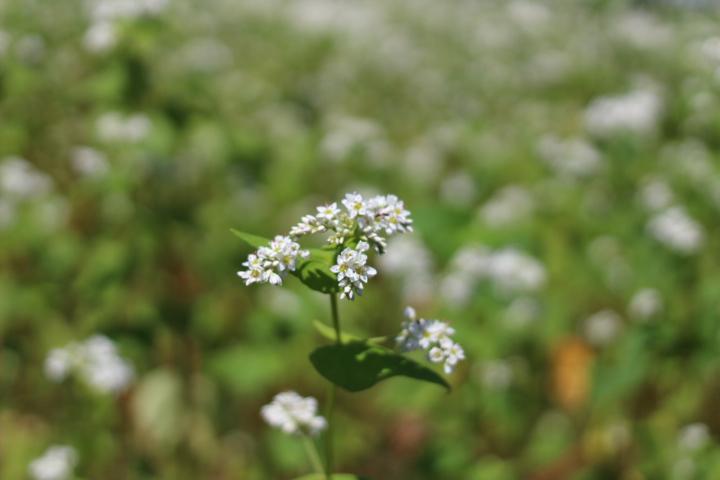 ソバの花盛り