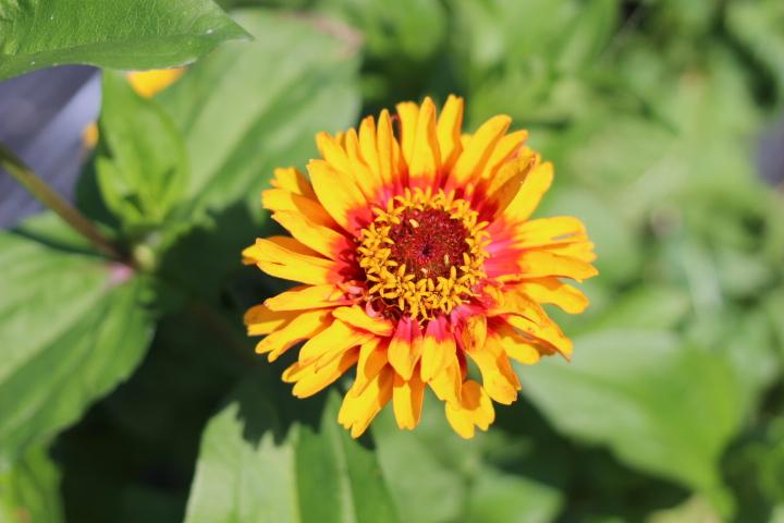 菜園日誌 180802 クレオメの花咲く。