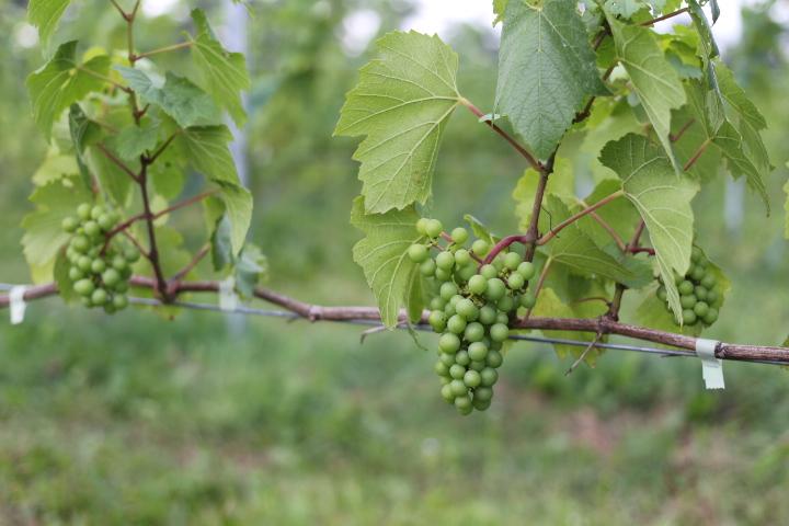 自然に任せてワイン造り