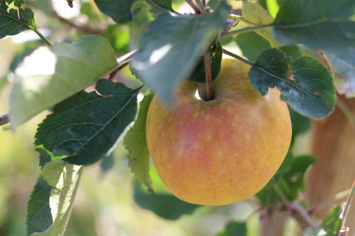 リンゴの剪定を科学する