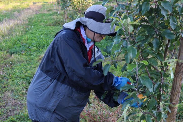 菜園日誌 181103 トキリンゴの収穫・長芋の収穫